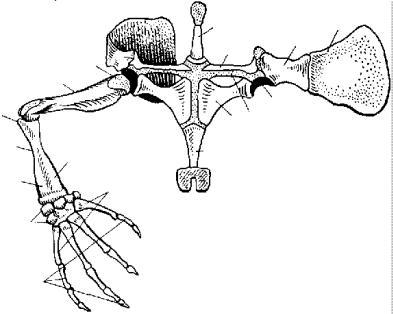 Скелет конечности морской черепахи