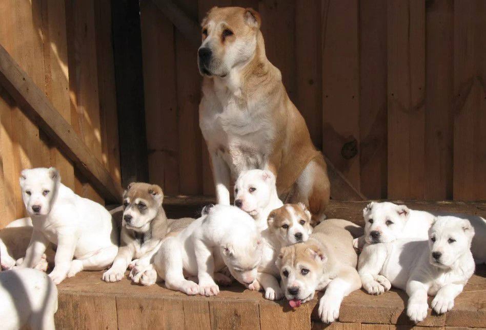 на фото щенки Алабай