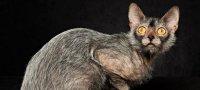 Ликой (кот-оборотень) — стандарт породы, характер, особенности ухода и содержания