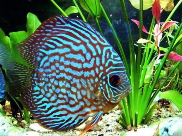 Аквариумная рыбка Дискус