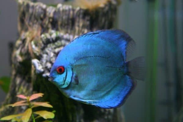 Дискусы, аквариумные рыбки
