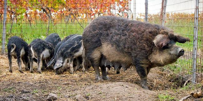 Свиноматка и  подросшие поросята венгерской мангалицы