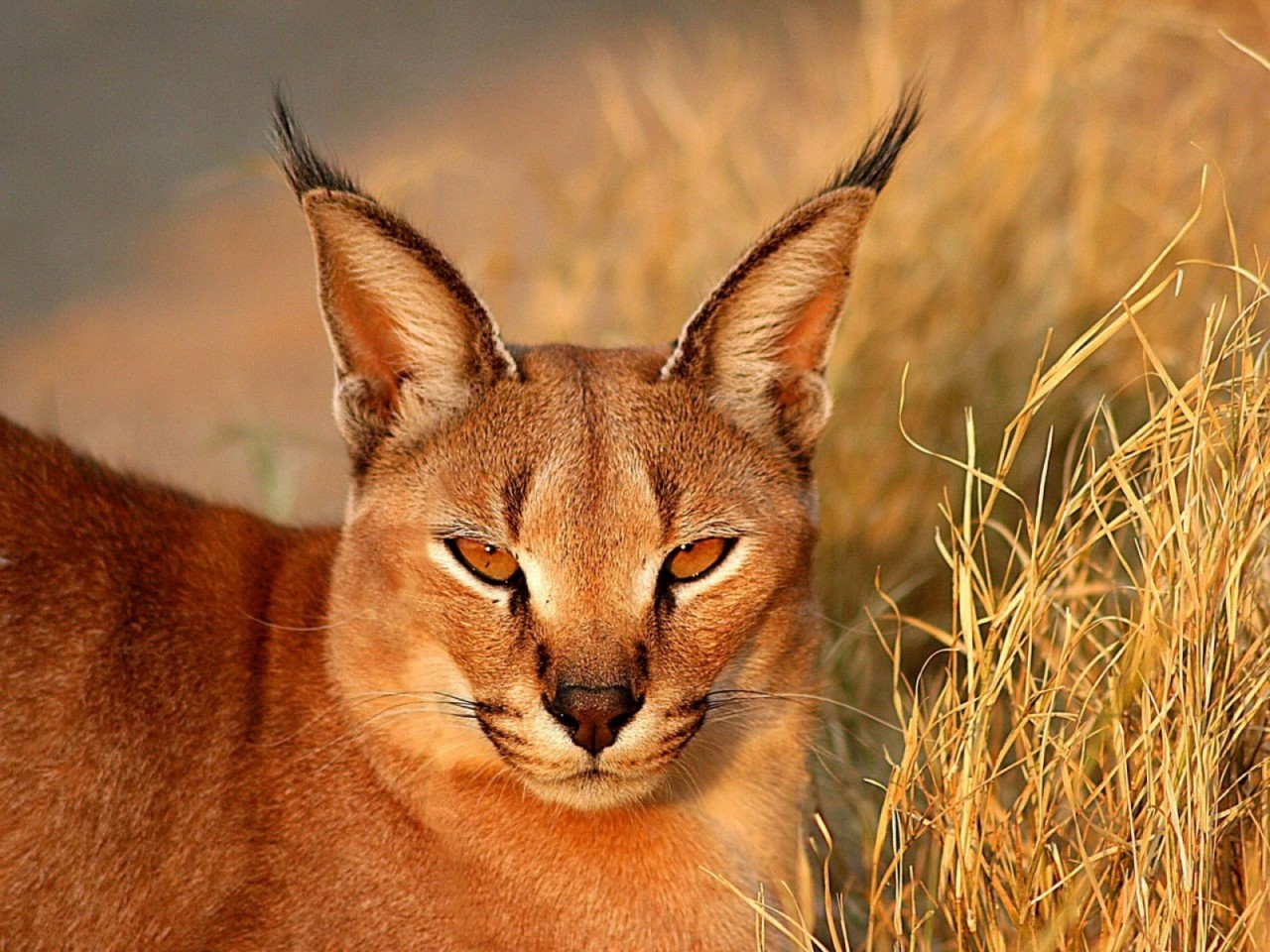 дикая пустынная кошка крупным планом