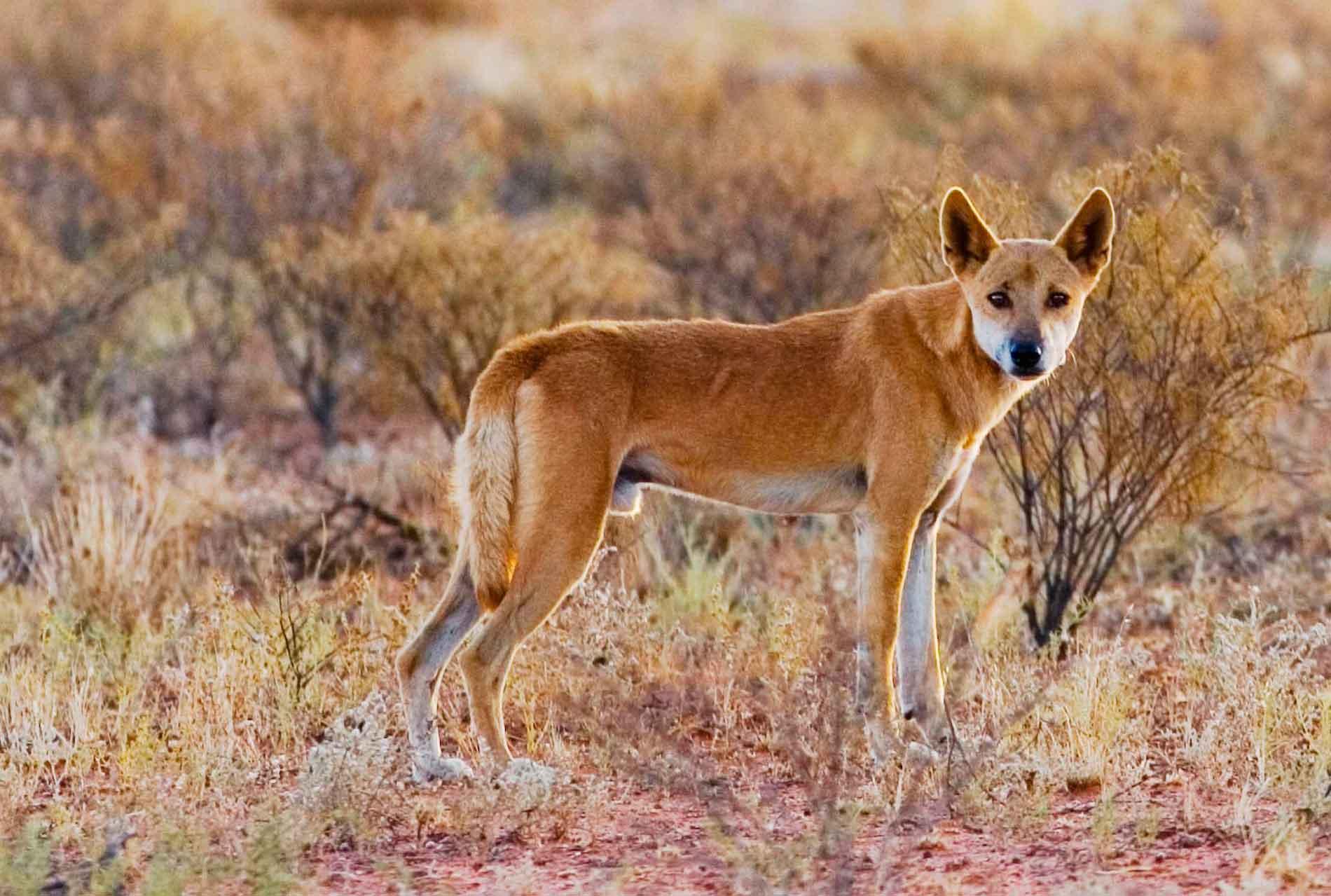 Собака динго живет почти на всей территории Австралии
