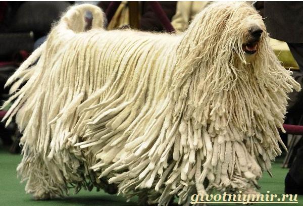 Командор-собака-Описание-особенности-уход-и-цена-породы-командор-1