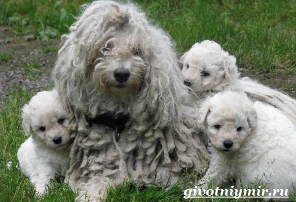 Командор-собака-Описание-особенности-уход-и-цена-породы-командор-3