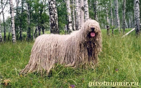 Командор-собака-Описание-особенности-уход-и-цена-породы-командор-9