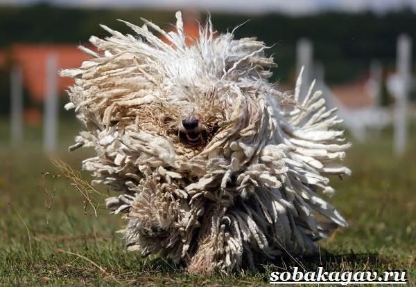 Комондор-собака-Описание-особенности-уход-и-цена-породы-комондор-1