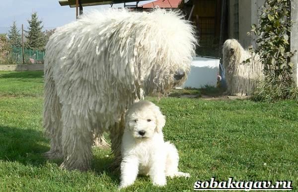 Комондор-собака-Описание-особенности-уход-и-цена-породы-комондор-7