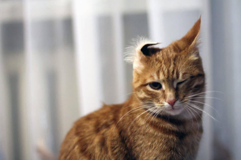 кошка с вывернутым ухом