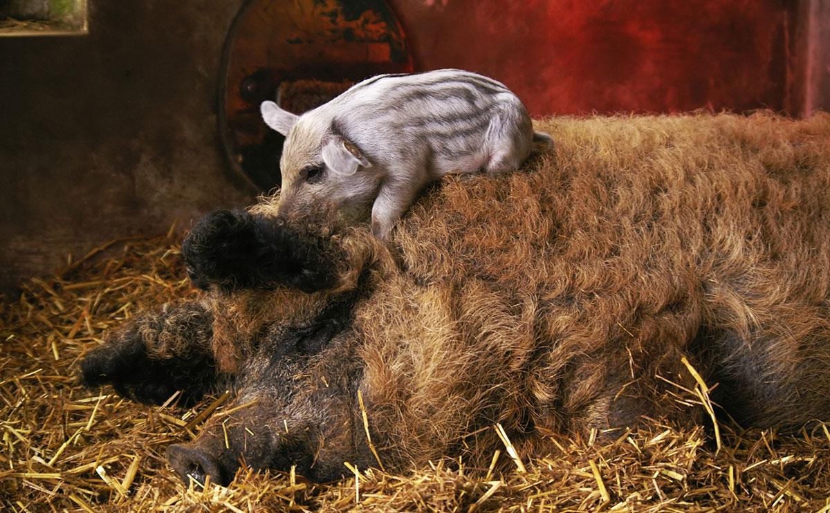 Свиноматка и поросенок породы венгерской мангалицы