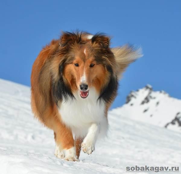 Шелти-собака-Описание-особенности-уход-и-цена-породы-шелти-9
