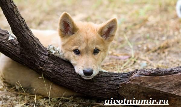Собака-динго-Образ-жизни-и-среда-обитания-собаки-динго-7
