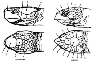 Расположение щитков на голове у черепах - разные виды