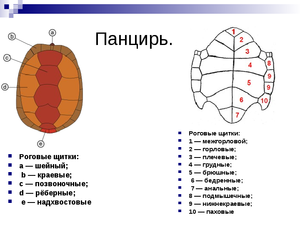 Роговые щитки у черепахи - где расположены