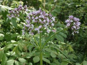 Описание растения лекарственной валерьянки