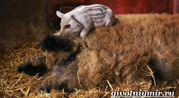 Венгерская-мангалица-свинья-Описание-особенности-уход-и-цена-венгерской-мангалицы-6